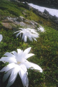 Flowers to the glacier 02